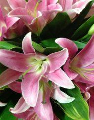 Pure pink Oriental